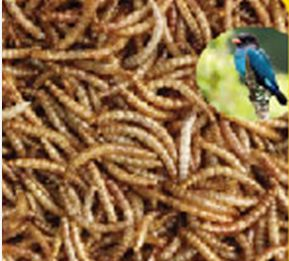 Microwave dried mealworm for birds to sale in Switzerland