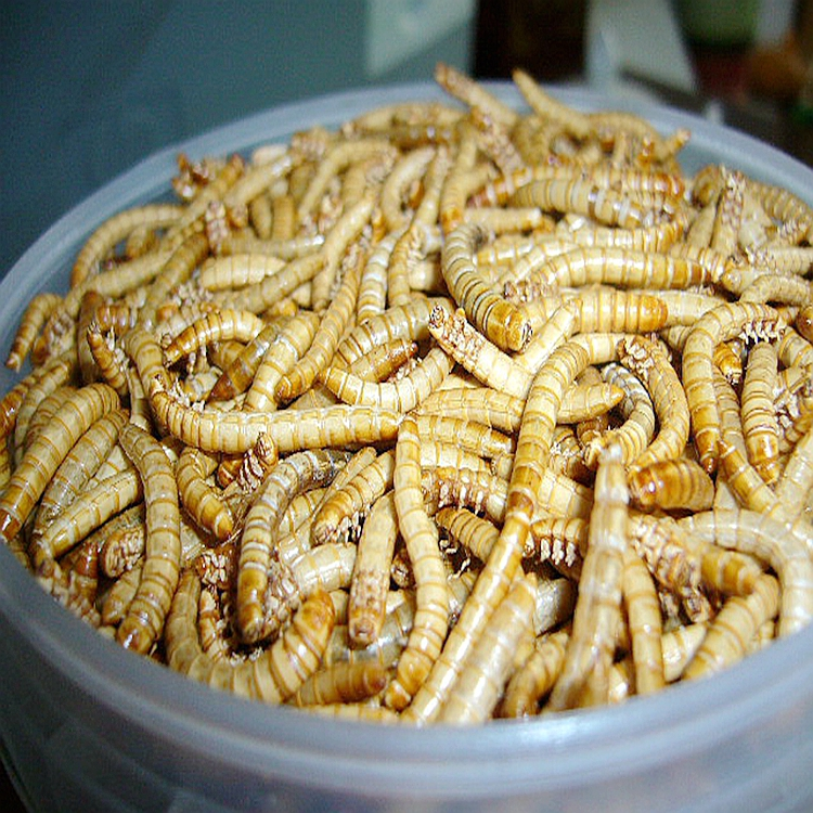 Freeze dried Mealworm manufacture
