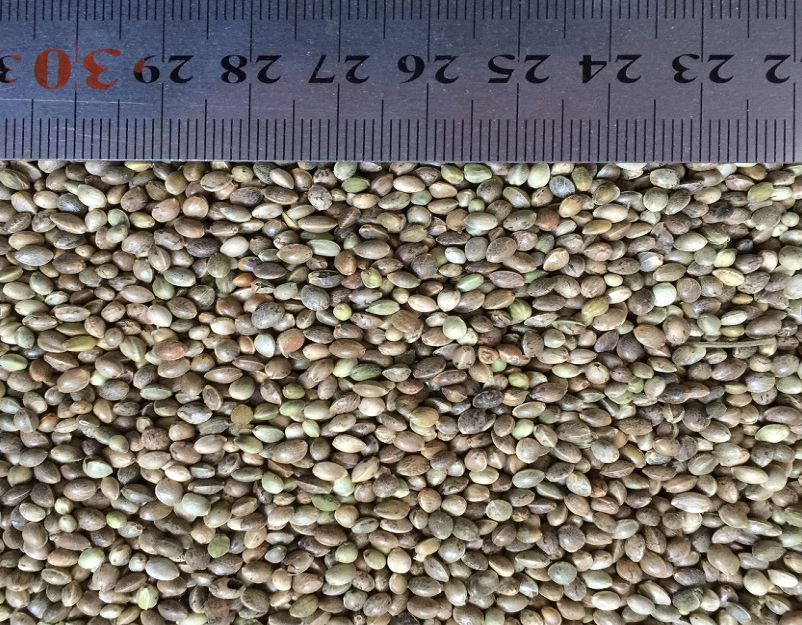 Hemp Seed for Cockatiel Food supplier